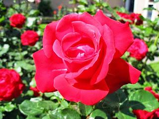 Gambar Bunga Mawar Merah Yang Cantik_Red Roses Flower 20010