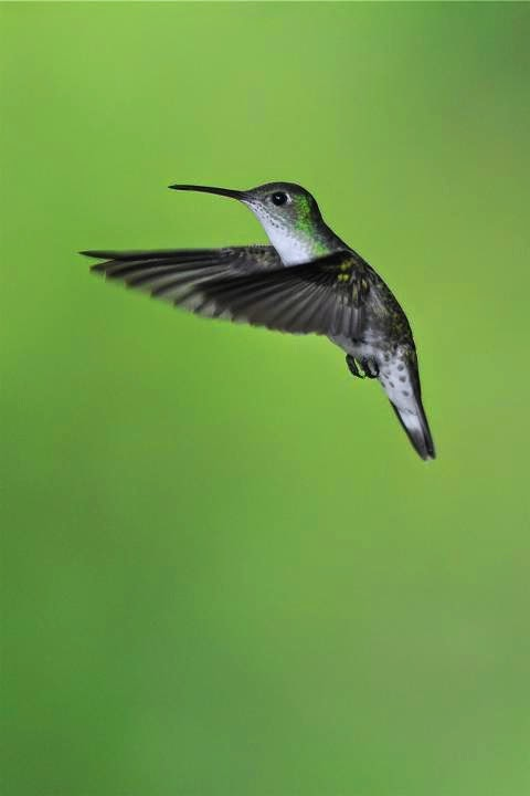 White bellied hummingbird