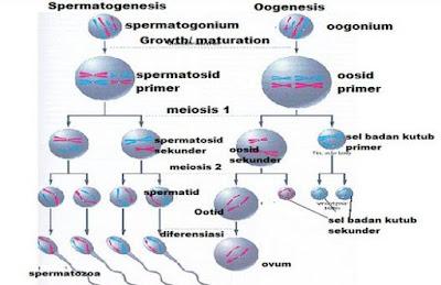 Proses Spermatogenesis dan Oogenesis