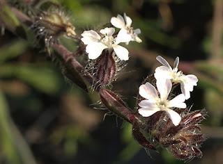Flores blancas de Carmelitilla (Silene gallica)