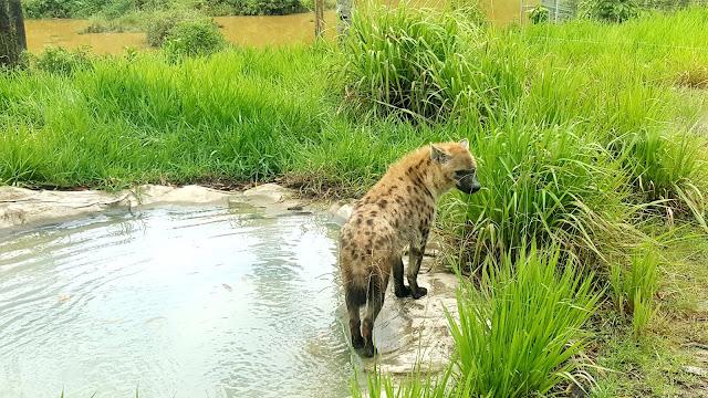 Dubuk di Bukit Gambang Safari Park