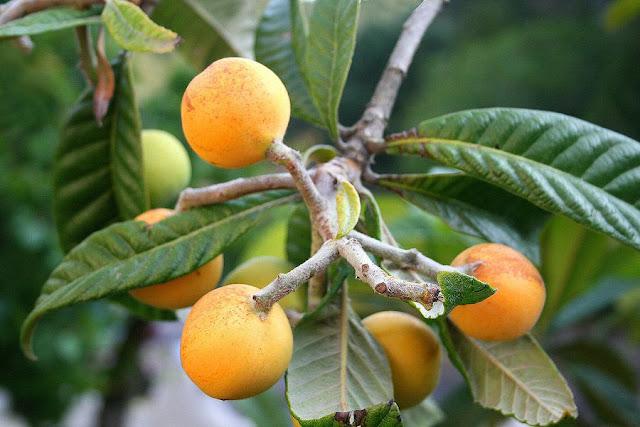 CÂY NHÓT TÂY - Eriobotrya japonica Lindl - Nguyên liệu làm thuốc Chữa Ho Hen