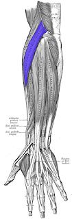 extensor carpi radialis longus muscle
