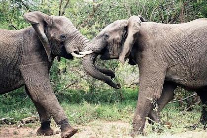 Gajah Simbol Keagungan Para Raja Aceh