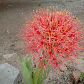 Bunga Desember