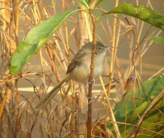 Burung Ciblek - Jenis Burung Ciblek Prinia Socialisbrevicauda - Penangkaran Burung Ciblek