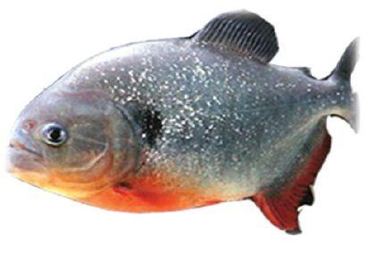 ciri-ciri ikan bawal air tawar