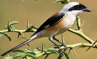 harga burung cendet berbagai jenis seperti burung pentet madura kembang macan