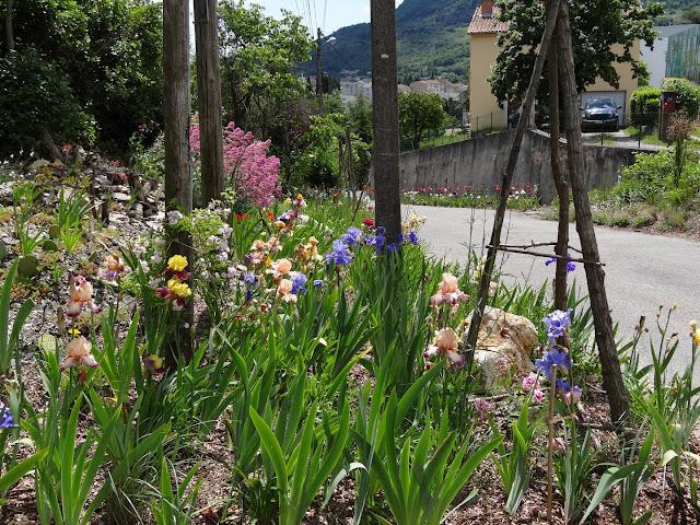 Floraisons 2016 de nos grands iris barbus et Bilan - Page 5 DSC07809
