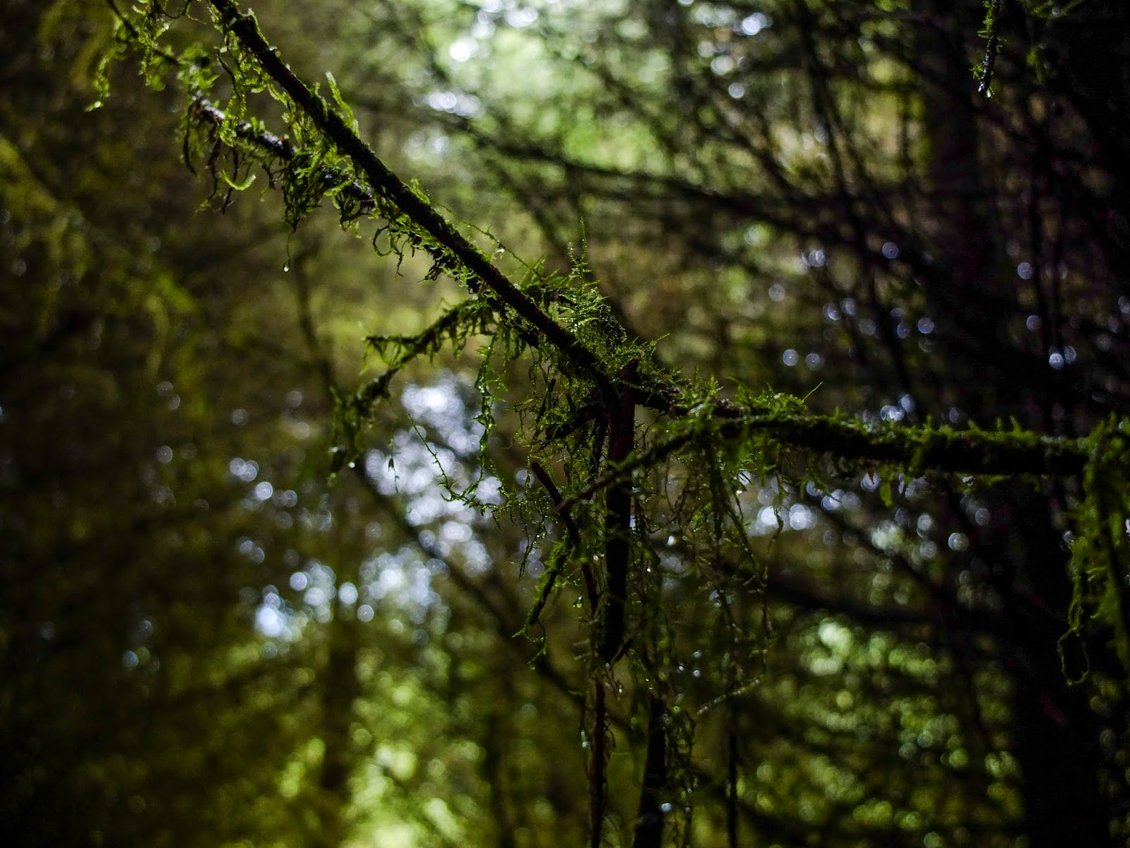 Dew covered mossy tree branches inside a forest.
