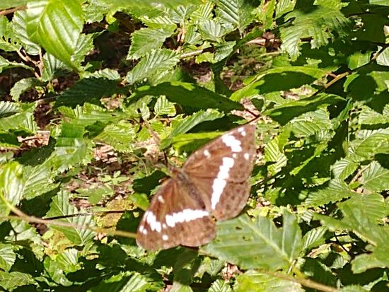 Look out for the White Admiral butterfly along the way Image by Hertfordshire Walker released under Creative Commons BY-NC-SA 4.0