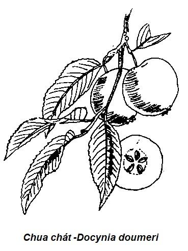 Hình vẽ Chua chát -Docynia doumeri - Nguyên liệu làm thuốc Chữa Bệnh Tiêu Hóa