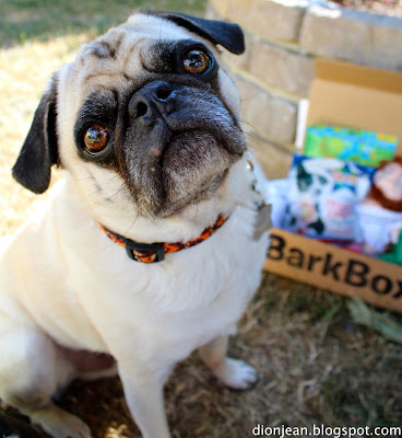 Liam the pug posing with his BarkBox