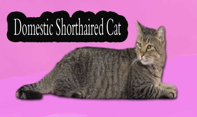 Domestic Shorthaired Cat Information