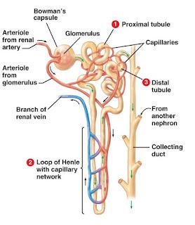 Nefron tempat Proses pembentukan Urine