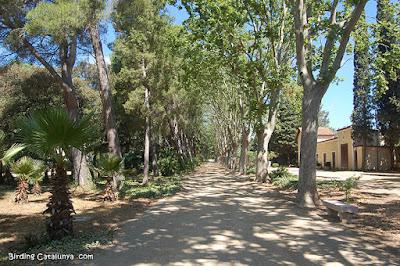 Passeig amb plàtans Parc Samà
