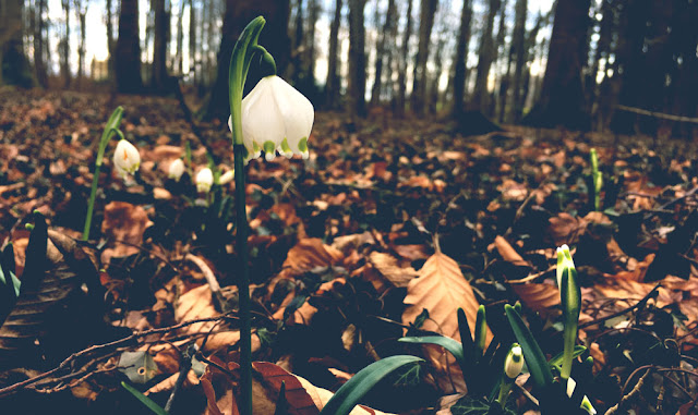 snowdrop, yunaban, schweiz blog, schweizer blogger, blog, blogger, winter, flower, spring, schneeglöckchen, schweiz, swiss, switzerland, spring snowflake, wald, waldboden,magic, naturheilkunde, gärtner, schneeglöggli, messenger of spring, winter blume