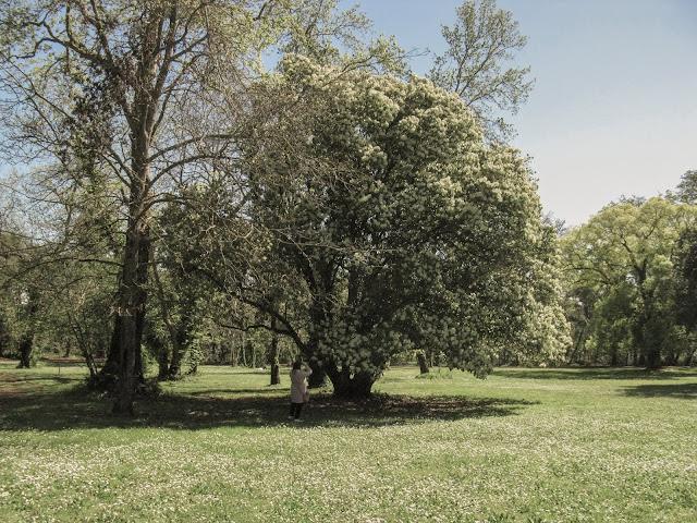 Alberi nel giardino inglese di Caserta
