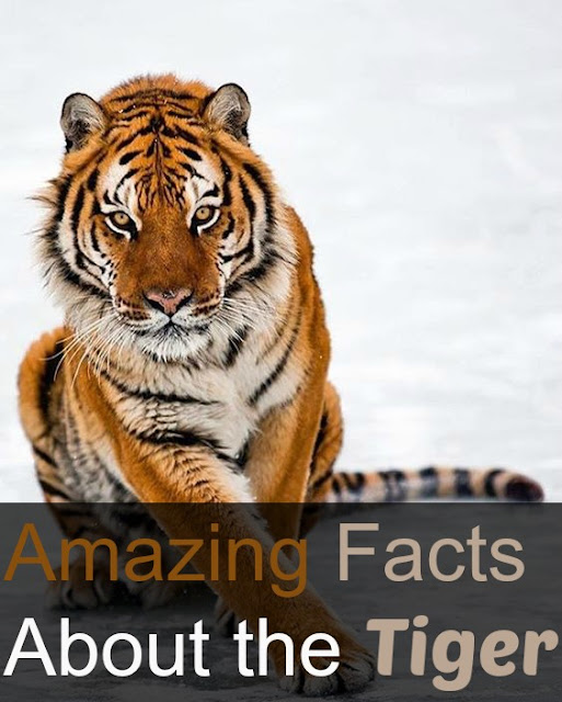 Amazing Facts About the Tiger