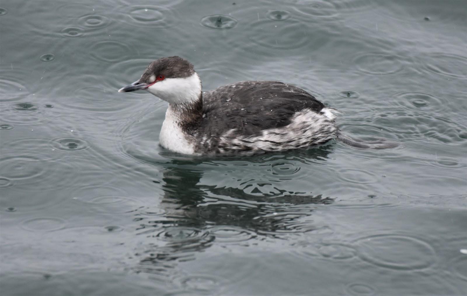 Bird Identificationwhat looks like a black loon