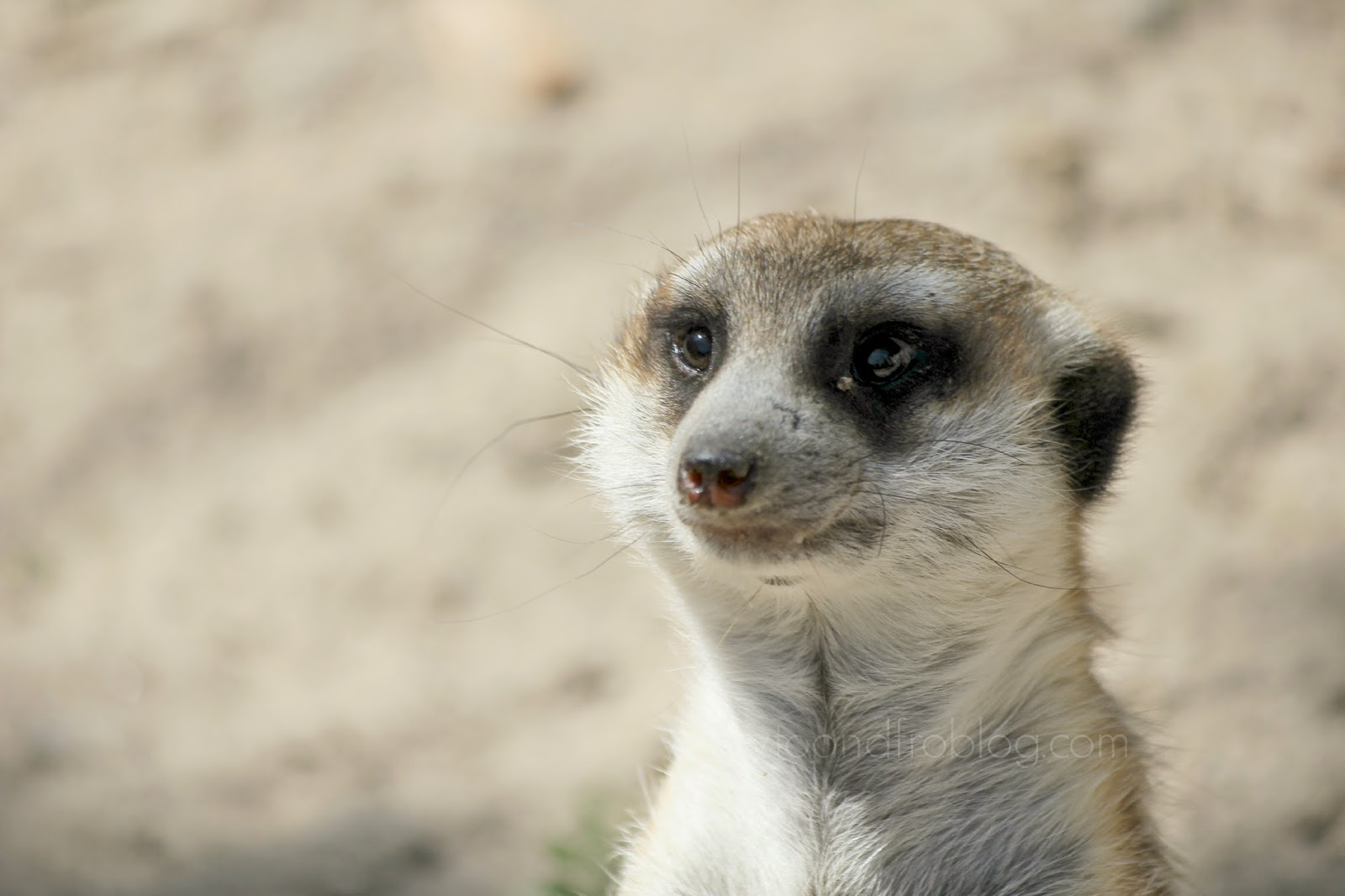 meerkat at riverbanks zoo