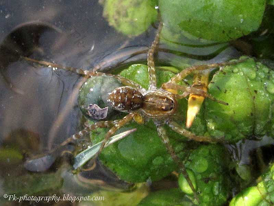 Fishing Spider Picture