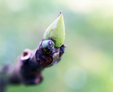 Flor y yema terminal de una ramita de higuera