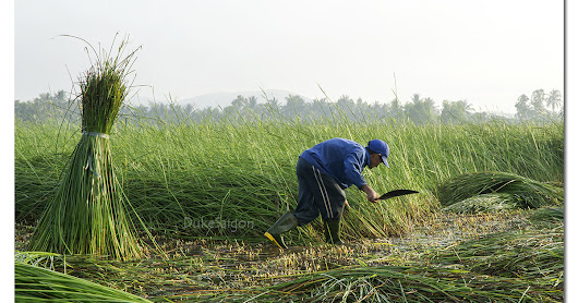 Sedge harvest in Tam Quan
