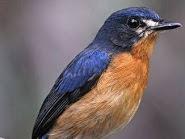 Cara Agar Burung Tledekan Makan Voer