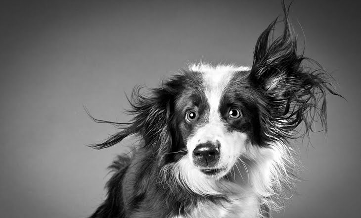 border collie caught in motion by carli davidson