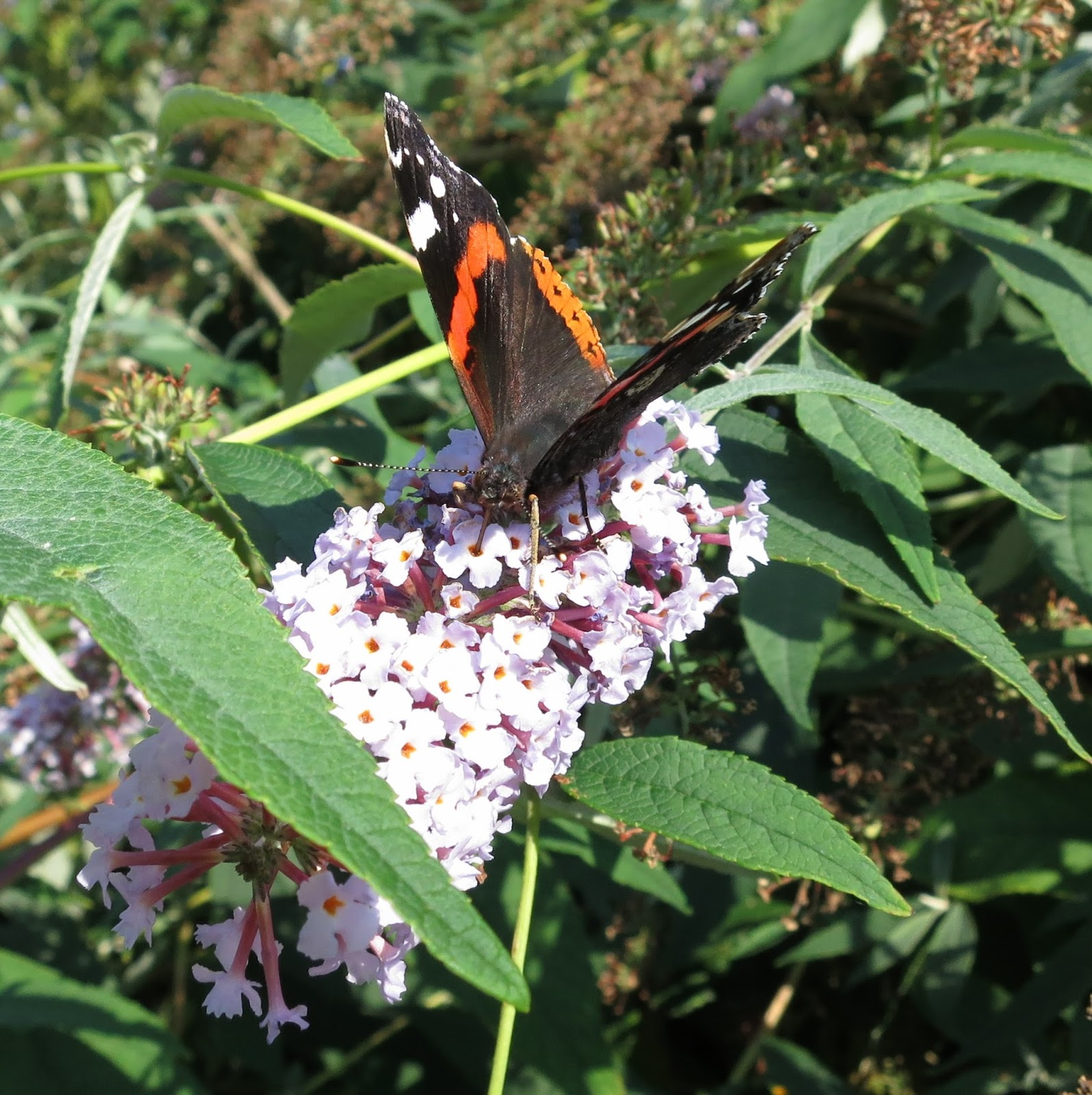 Red Admiral butterfly on buddleia flower - closer. With half open wings.