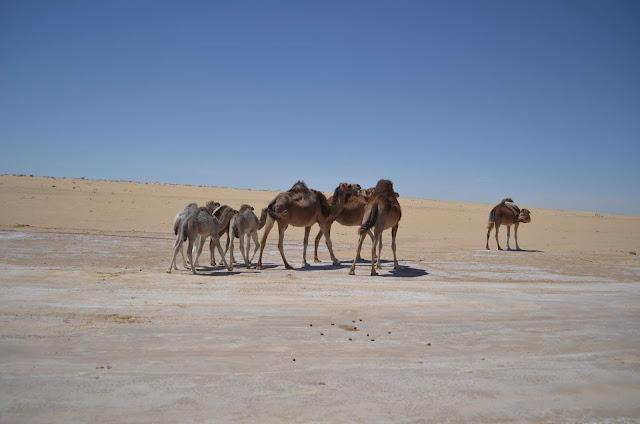 Camelos selvagens no deserto do Sahara