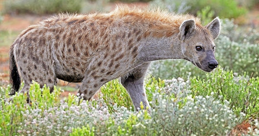 Taxonomy Tuesday: Hyenas Are Not Dogs