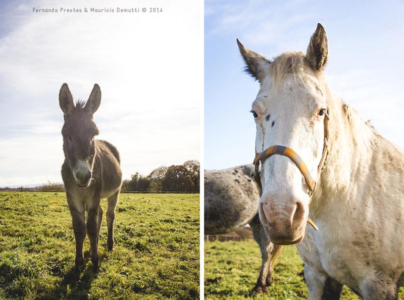 jumento e cavalo