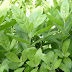 Cúc tần, giải đáp câu hỏi cây cúc tần có tác dụng gì?