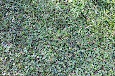 """What my """"lawn"""" looks like, there's some grass!"""