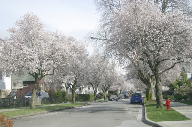East Vancouver Cherry Blossoms in full bloom!
