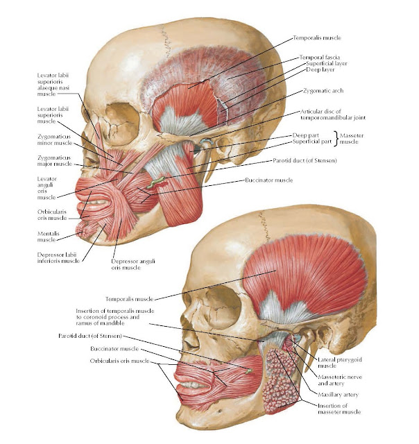 Muscles Involved in Mastication ANATOMY