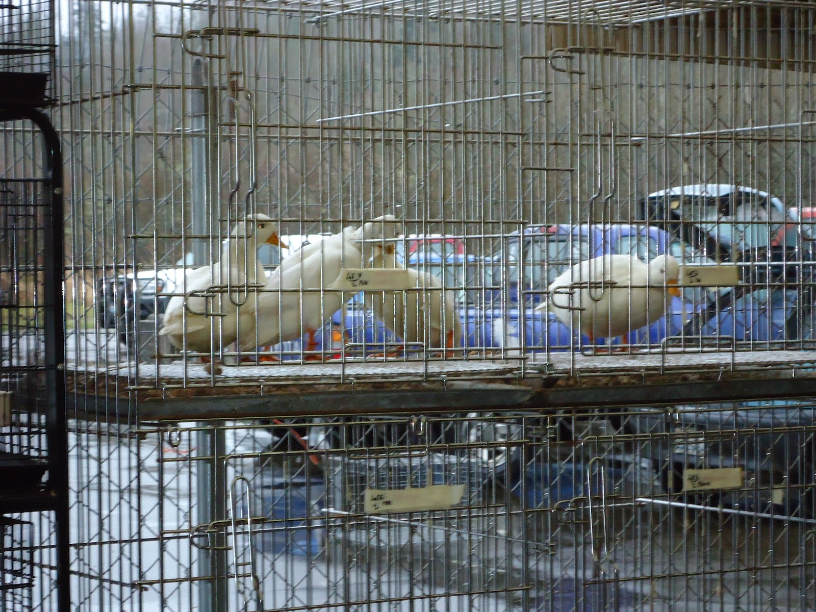 Just Chickens   : Chehalis Agricultural Market ~ Chicken Auction