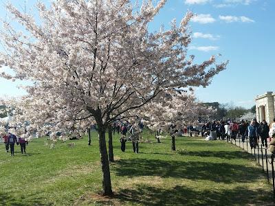 2018 cherry blossom tree