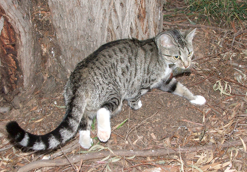 Feral Cats Common Name