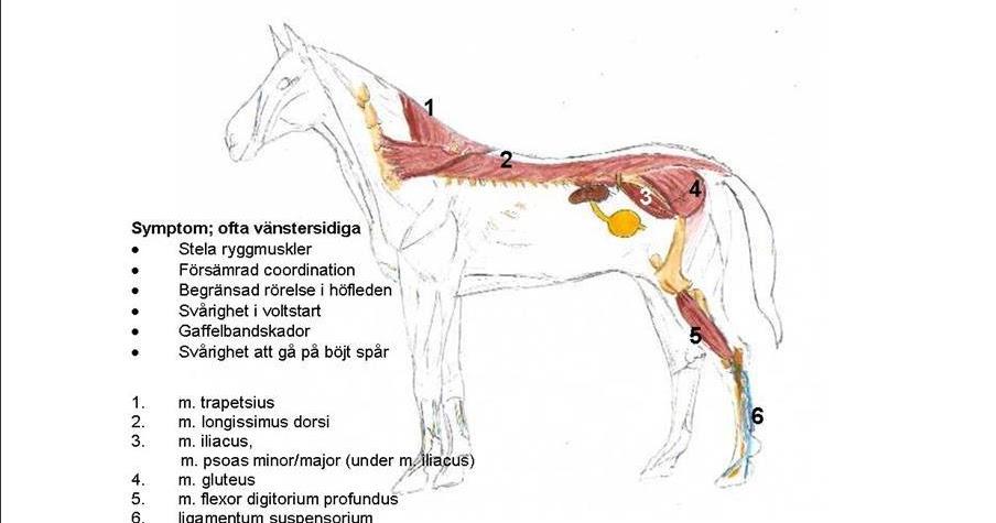 magnesiumbrist symptom häst