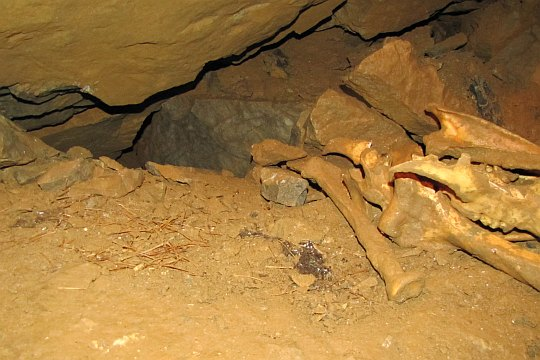 Z lewej widać drobne kości nietoperzy, zaś z prawej większego zwierza.