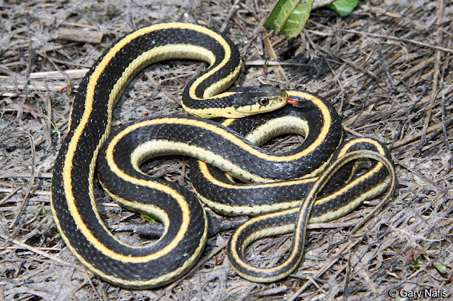 Woodsterman garden snakes can be dangerous Garden snakes in texas