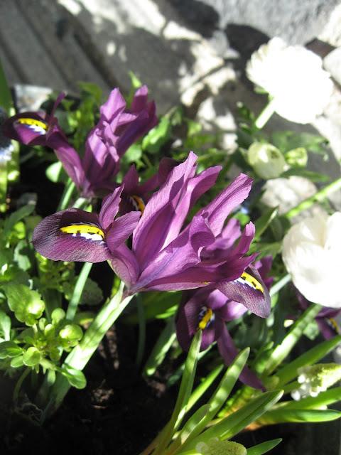 Ideer til vårblomstring i krukker - i fargene rosa/lilla - Lave lilla iris