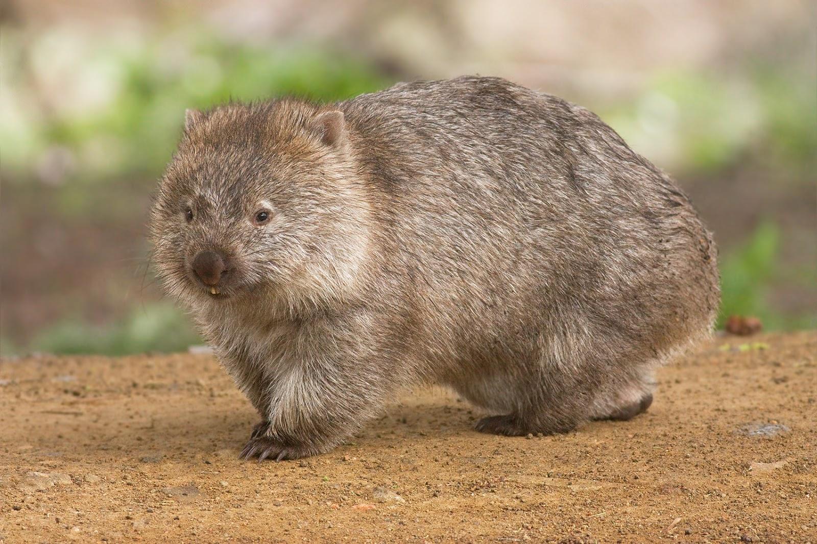 Mammals Animals: Vombatus ursinus -Maria Island National Park