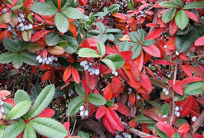 Berberis julianae showing red winter leaf colour