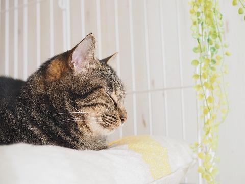 キジトラ猫の横顔