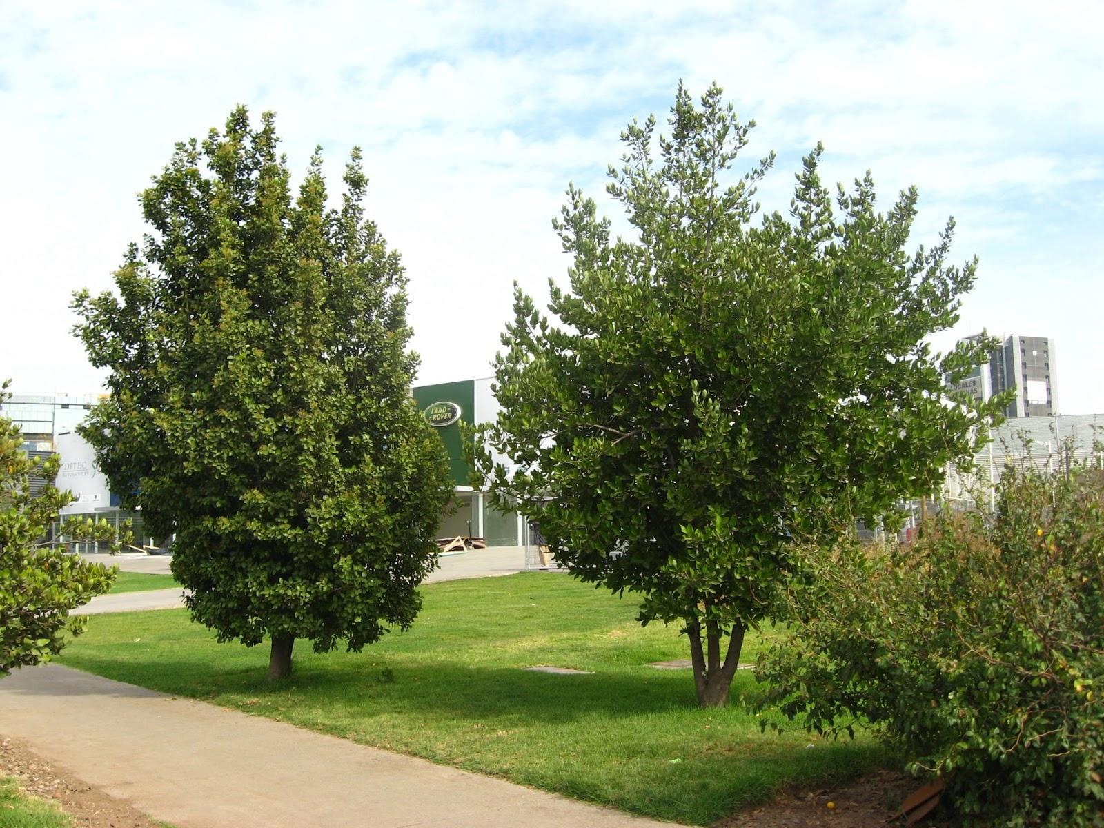 Rboles urbanos el belloto el belloto comuna for Arboles de hojas perennes en chile