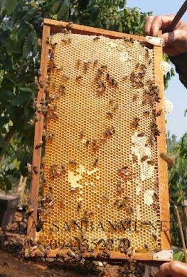 thu hoạch mật ong hoa cà phê
